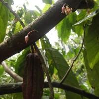 カカオ生産者、自らの豆を加工することに挑戦
