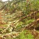 大型台風がバランゴンバナナ産地に上陸~ネグロス島及びミンダナオ島北部の被害状況~【216号】