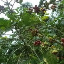 東ティモールのコーヒー事業マネージャーのルシオさんから、今年のコーヒー収穫について報告が届きました。