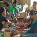 東ティモールのエルメラ県では、コーヒー収穫が本格化しています。
