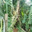 台風クイニー ネグロスとボホールのバナナ産地に打撃