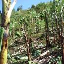 出荷目前のバランゴンに被害 ~台風22号パナイ島被災状況~
