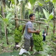 バナナニュース248号:バランゴンバナナが日本に届くまで②
