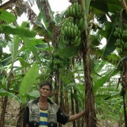 バナナニュース250号:バランゴンバナナが豊作!!  ~度重なる天候被害から回復したパナイ島~