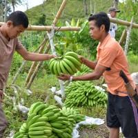 バナナニュース249号:バランゴンバナナが日本に届くまで③~バナナの買付け~