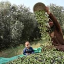 パレスチナ報告(後半)パレスチナのオリーブオイルについて