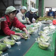 バナナニュース253号:バランゴンバナナが日本に届くまで⑥~バナナのリパック~
