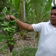 【バナナニュース256号】ミンダナオ島ツピの干ばつ被害状況