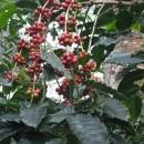 【PtoP NEWS vol.24 ここが知りたい!コーヒー】コーヒーの種類