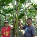 【バナナニュース296号】バランゴンバナナが日本に届くまで