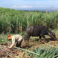 たくさんの人びとの手作業・手仕事で生み出されるマスコバド糖 from フィリピン(PtoP NEWS vol.42 2021.02)