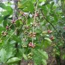 東ティモール: まもなく収穫シーズン