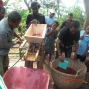 東ティモール:エルメラでコーヒー収穫が始まりました!!