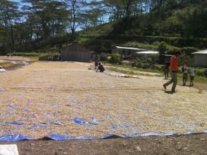 乾燥場には、あたり一面にパーチメントが所狭しと並んでいます。 去年とは大違い!素晴らしい。