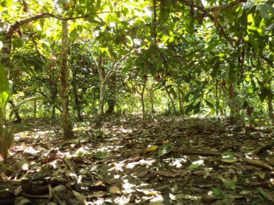 カカオ畑の写真