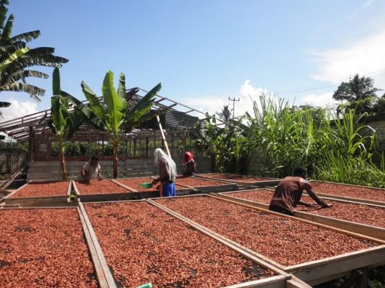 熟成させたカカオ豆の天日乾燥