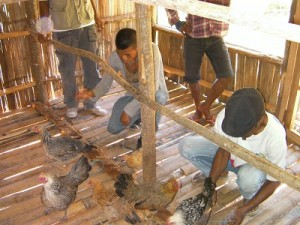 完成した鶏舎に鶏を放す