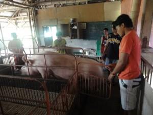KFRCで養豚の研修中