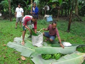バナナ栽培は父親と共同で。