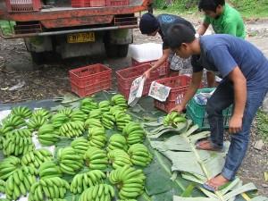 集荷所に運ばれたバランゴンバナナ