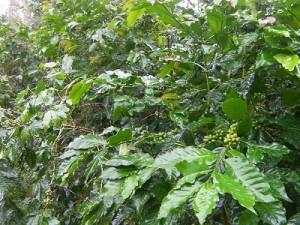 熟し始めているコーヒーの実(レキシ地域)