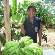 昨年12月の台風で被害を受けたバナナの収量が回復しています。