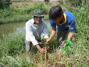 川沿いにマングローブを植える