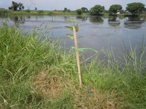池の周囲に植えられたマングローブ