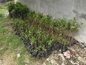 準備された200本以上のマングローブの苗