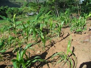 ドロレスさんのバナナ畑には、果樹や野菜、トウモロコシなどもつくられています。