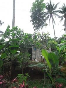 2年前にLカンダボンに植樹をしたマホガニー(右から2本め、ココナッツの左隣)