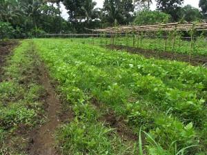 研修生が栽培する野菜が、農場の緑のじゅうたんとなっています。