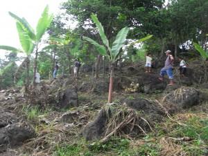 ジュリエットさんのバナナ畑(傾斜地)は木々もある場所なのに厳しい状況です。