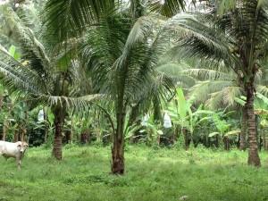 ビクターさんのバナナ畑