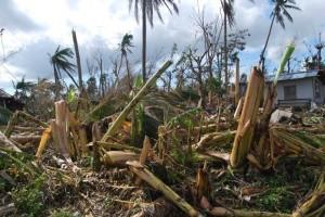 台風の強風により倒されたバランゴンバナナ