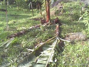 根本からなぎ倒されたバランゴンバナナ(パタグ地域)