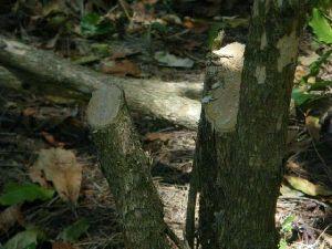 木のカットバックはシャープに切ることがポイント。
