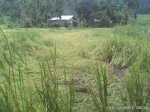 バランゴン生産者がつくっている水田も被害を受けました(カンルソン)。