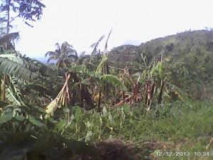 バナナの葉がボロボロになってしまいました(カンルソン)