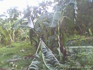 なぎ倒されたバランゴンバナナ(パタグ地域)
