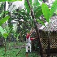 有畜複合農業の一環としてバランゴンバナナ生産を復活!(ネグロス西州/バイス・バランゴン生産者協会)【211号】