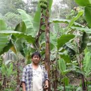 バランゴンバナナ栽培に取り組んで16年!北ルソン(ルソン島)ソウミル地域・ネストールさんの紹介【228号】