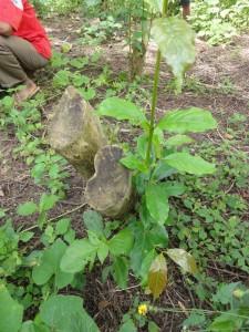 カットバックを施したコーヒーの木