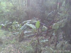 パタッグ村のバナナ被害