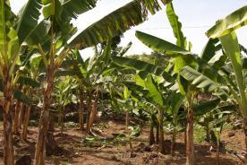 ホノラトさんバナナ圃場