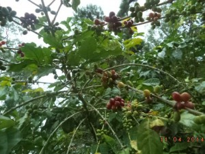 フィトゥン・カイタノのコーヒーの実は赤く色づき始めました。