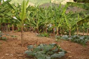 成長中のバナナ。カボチャと混植(アマヨン地区)