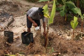 バナナの苗の植え込み