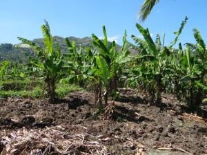 せっかく育てたバランゴンバナナが台風の影響で葉がボロボロになってしまいました。
