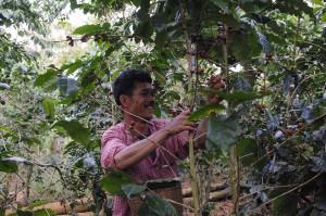 収穫作業@セタプン村JCFC